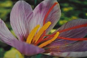 La fleur de safran